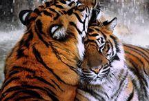 Beautiful Big Cats / Cougar & Mountain Lion & Panther & Tiger