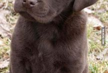 Labrador Retrievers <3 them - Hershey the original GoDogGo dog was a Choc Lab / by GoDogGo Fetch Machine Automatic Ball Thrower for Dogs