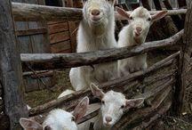 Geiten/goats