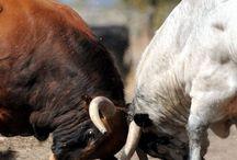 Toro bravo / Un homenaje al toro bravo, bello y vivo
