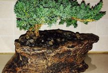 iLoveZA.com Bonsai Trees / Bonsai
