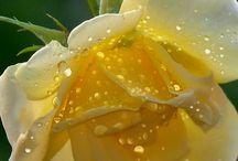 Rosas amarelasrosas