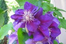 Clematis bred by Uno &Ali Kivistik Estonia / Clematis that succeed, clematis that bloom heavy for long period, clematis that hand extreme cold temp, clematis that are the easiest to prune