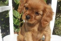 Cavi Puppies