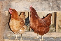 Chickens / by M. Riquez