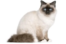 CHAT BIRMAN sacre di birmanie