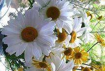 daisies for