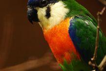 Fig parrot
