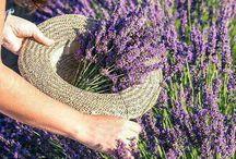 Lavender / Lovender