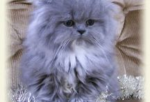 Persian Cats non as Sweet as Butch!