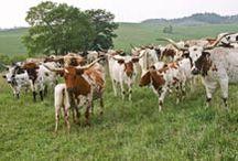 CattleFarming