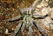 Trinidad Chevron Tarantula