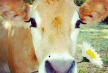 Cow memorabilia