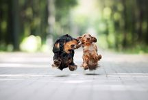Dachshund / Close to my heart, now and always.