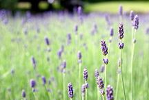 Essential Oil Uses & Benefits / by Laura Strycker