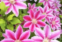 Clematis tips
