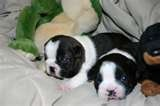 Boston terriers, THE BEST DOGS!