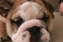 British Bulldog. Rosy_girl2016