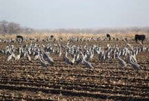 Sandhill Cranes / Each year, more than a half a million Sandhill Cranes spend about six weeks in the Platte River Valley, many around North Platte, fattening up to finish the rest of their migration. They'll leave hear for places as far away as Siberia to breed and nest.