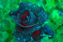 RARE ROSES /  **RARE ROSES OF THE WORLD** / by Angela Crowley