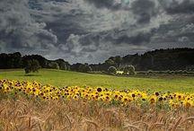 Solsikkebilleder og Van Gogh
