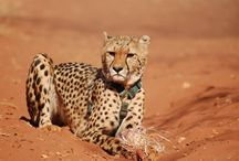 The Cheetahs / The worlds fastest land mammal