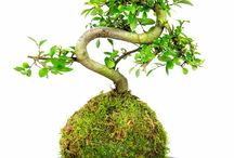 Our Kokedama plant  range / The different types of plants avaliable at Tranquil Plants