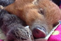 Gingerale the piglet and kittens / Voting ends 20Aug PLS PLS VOTE FOR US