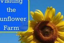 Sunflower / 0