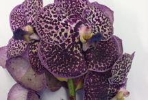 Blomsterliste orkide / Orkidéen tilhører familien orchidaceae som er en av de to største blomsterfamiliene som finnes. Den har ca. 65 slektninger og 20 000 arter. Orkideer er fine å bruke i dekorasjoner og buketter.