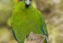 Cyanoramphus / Il genere Cyanoramphus definisce quattro specie di pappagalli molto graziosi, dalle forme arrotondate e una coda molto lunga, comunemente denominati kakariki. Si tratta di uccelli dal temperamento vivace ed attivo, che amano muoversi, ma che sono ben predisposti ad un legame di confidenza con l'essere umano. In natura sono in pericolo di estinzione, mentre in cattività sono diffusissimi in tutto il mondo. http://www.pappagallinelmondo.it/cyanoramphus.html