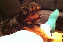 Max-vår dachs/yorkie mix / Hunden vår Max som er 4 år.