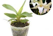 Anggrek Species Lain / Semua tanaman dalam board ini bisa dikirim keseluruh Indonesia, silahkan order ya, tel: 0341-599399 I SMS center: 08569020300 atau kunjungi website kami www.kebunbibit.id