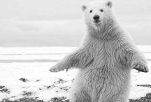 Медведи