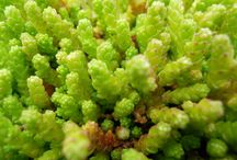 SEDUM / Sedum is a large genus of the Crassulaceae family comprised of about 400 species or so.  Sedum  is a very diverse group of plants much prized by gardeners.  They are mostly sun-loving, drought-tolerant plants that provide excellent color in the garden.  They originate from many parts of the northern hemisphere and exhibit a startling array of color, texture, and form.  The plants listed in this section are the relatively hardy selections.