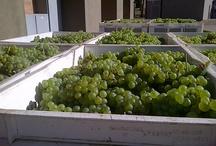 Harvests at #Saronsberg  / The making of award winning Saronsberg wines.