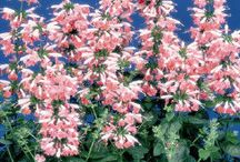 SALVIA / Salvia is the largest genus of plants in the mint family, Lamiaceae, with nearly 1000 species of shrubs, herbaceous perennials, and annuals