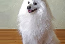 Japanese Spitz / It is not known exactly where the Japanese Spitz originated, but it is generally regarded that it descended from the native Siberian Samoyed. This claim is somewhat controversial, but the breeds closely resemble each other; especially when one considers that  Samoyeds were bred in the 19th century to make them smaller. - See more at: http://www.noahsdogs.com/m/dogs/breed/Japanese-Spitz#sthash.IwtdQan4.dpuf