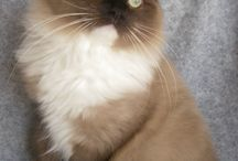 Ragdoll Cats and Kittens / by Angela VanCleve