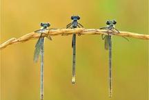 Dragonflies / by Jenn Rowse