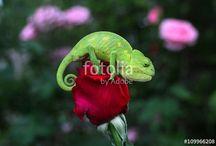 chameleon*bukalemun