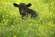 Cows! / by Amanda Klug