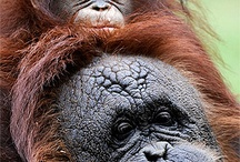 Planet the Apes(2) / Orangutans