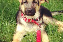 Lexi  / Life of my German shepherd