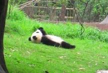 Panda / パンダ