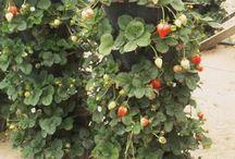 Jordbærsøyle