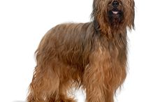Briard / Despite his very ancient history, the Briard was introduced into this country only in the late 1960's with the first dog arriving from Ireland in 1966 and the first imports from France in 1969.  The first ever litter in Great Britain was born in March 1969 from Irish imports and the second in November of the same year. See more at: http://www.noahsdogs.com/m/dogs/breed/Briard#sthash.NsKvhMdG.dpuf www.NoahsDogs.com