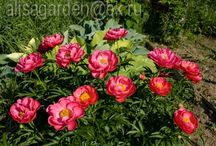 Shade-tolerant peonies / Peonies that will put up with a little bit of shade (not full shade)