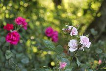 Unser Rosengarten / In Carolins Rosengarten hinter der Fischerwiege blüht und duftet es von Jahr zu Jahr schöner.