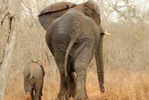 Oud en jong; olifanten / ouderolifanten met hun jong